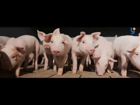 Біогаз зі свинячого