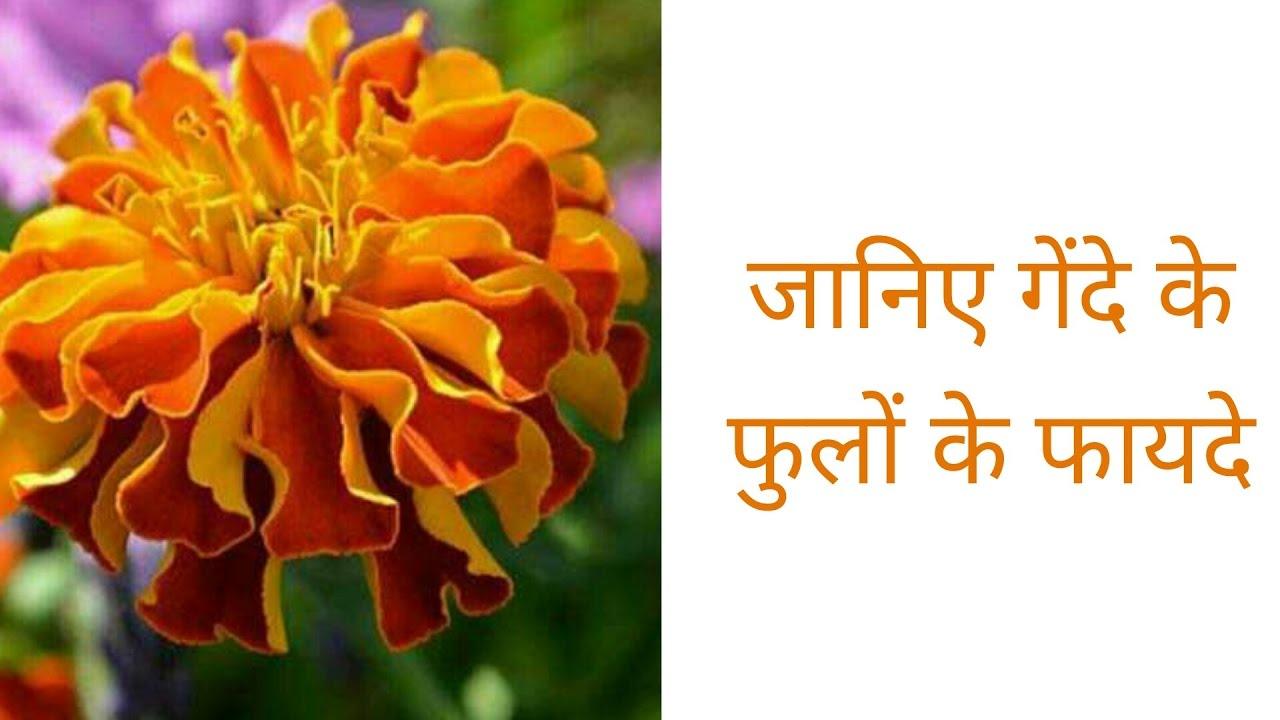 Image result for गेंदे के पौधे