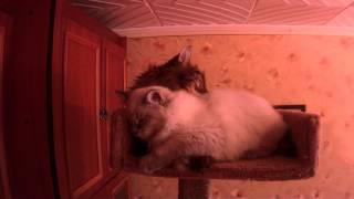 Невский маскарадный котенок Адреналин Из Снежной Империи и сибирский кот Ярослав Сидими