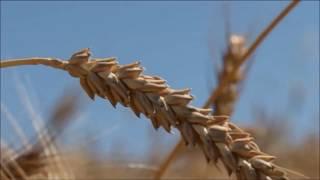 Les blés de pays - Nicolas Supiot et Jean-François Berthelot