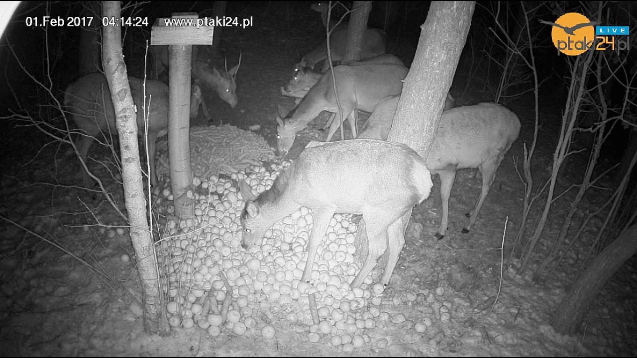 Duża chmara łań i jeleni nad ranem w karmisku w lesie na Podkarpaciu