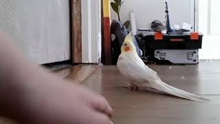 Baby Cockatiel gets wings clipped and then is very affectionate!