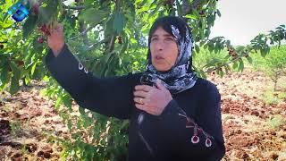 معاناة أهالي جبل الزاوية جنوبي إدلب في حصاد موسم الكرز