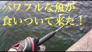 雨後の爆よりパワーが炸裂した!・・・【ヘチ釣り チヌ釣り 黒鯛釣り 落とし込み】