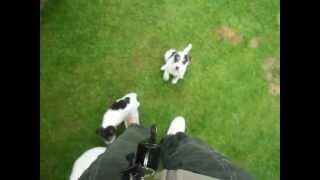 Parson Russell Terrier Welpen Aus Nrw Vom Niggeland