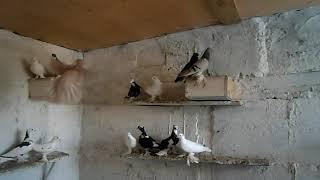наши домашние голуби