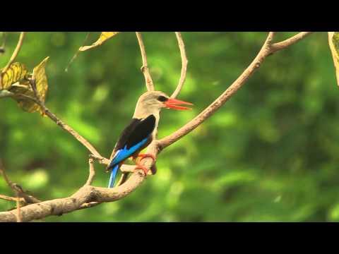 Grey-headed Kingfisher, Ghana