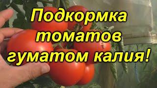 Подкормка томатов ГУМАТОМ КАЛИЯ - как это правильно делать.