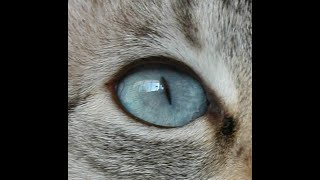 Cats Blue Eyes 001