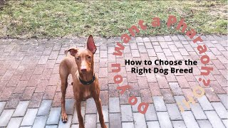 Should You Get A Pharaoh Hound? | How to Choose the Right Dog Breed | Which breed will suit you?