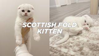 BRINGING HOME OUR NEW SCOTTISH FOLD KITTEN   Stella Vataman