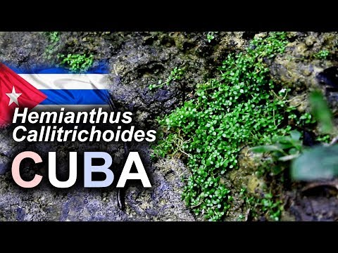 Hemianthus Callitrichoides in NATURA a CUBA • VLOG