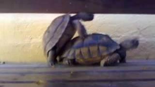 Las Tortugas Porno