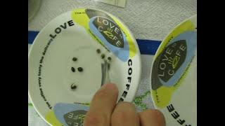 maconha semente, como germinar em água, semente de maconha prensada, semente de maconha medicinal thumbnail