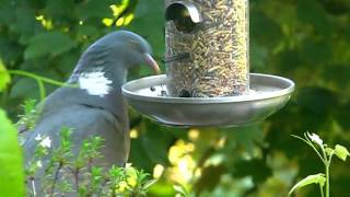 Wood Pigeon At The Birdfeeder 17.05.2014