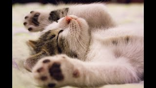 You will LAUGH SO HARD that YOU WILL FAINT - FUNNY CAT- funny videos compilation