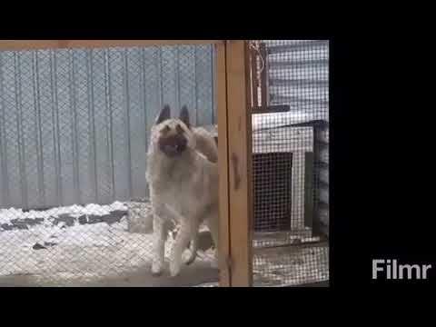 Собака танцует под татарскую музыку: