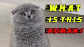 SCOTTISH FOLD CAT SAW STRANGE THINGS