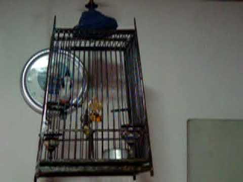 นกกำไลทอง นกหัวจุก  จากป่ากาญจนบุรี