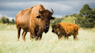 How to start your own Bison herd!