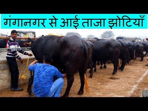राजस्थान के गंगानगर से आई ताजा झोटियाँ | Young Murrah Buffalo from Ganganagar of Rajasthan