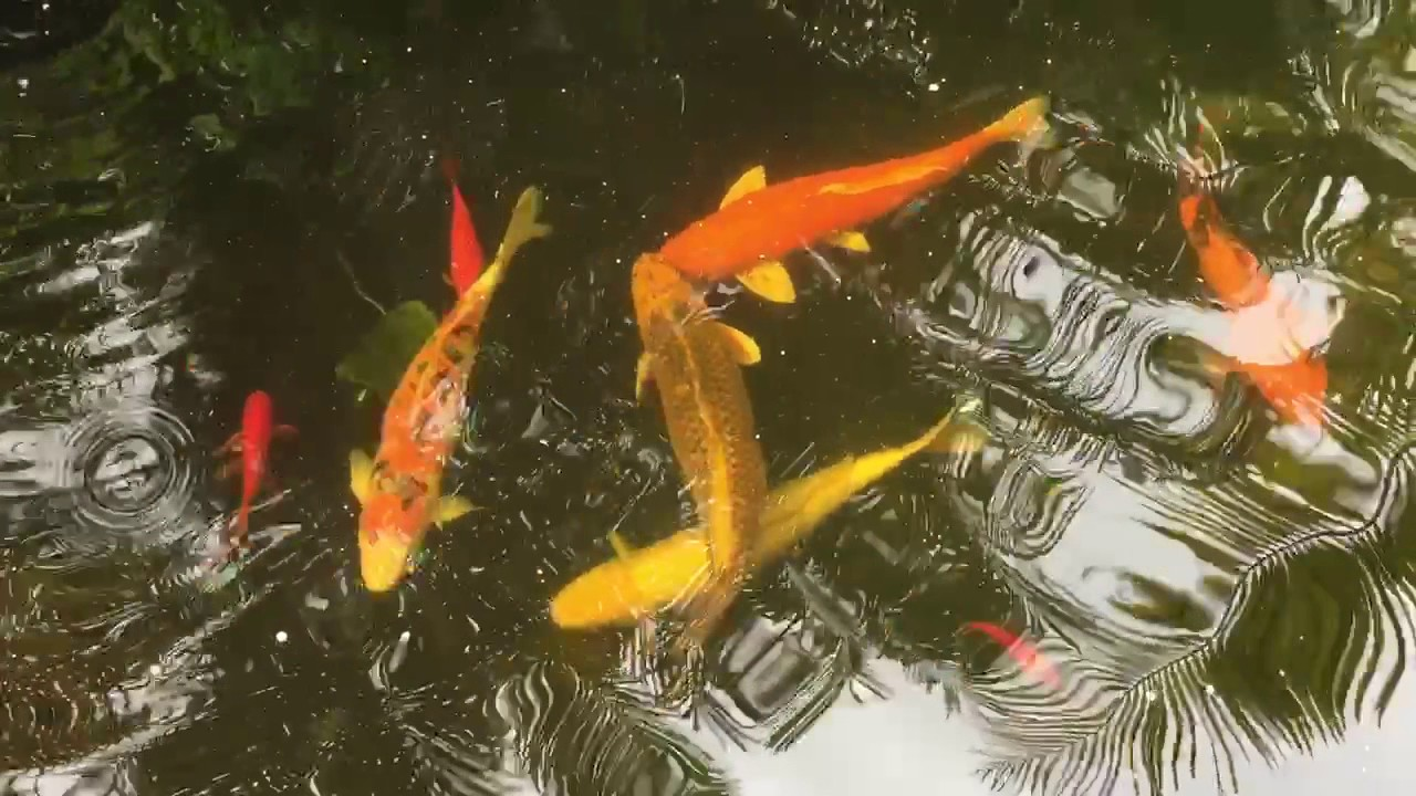 Koi pond pool fish water water features plants water for Koi pond next to pool