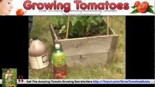 Growing Cherry Tomatoes In Pots & Grow Bags Tomatoes