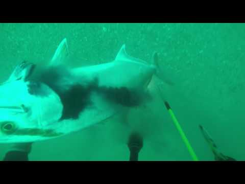 Spearing a Large Amberjack off the USS Mindanao Wreck