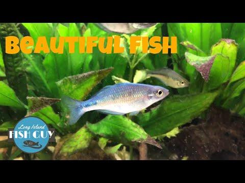 Turquoise Rainbowfish Tips!