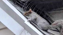 SQUIRREL REMOVAL   How to get rid of squrrels for good call NJ Pest Control 973-388-9126