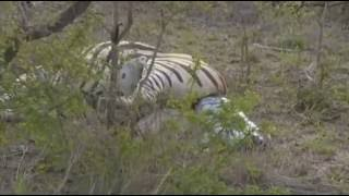 Safari Live Videos--March 04, 2016- James Hendry provides commentary as a Zebra Gives Birth