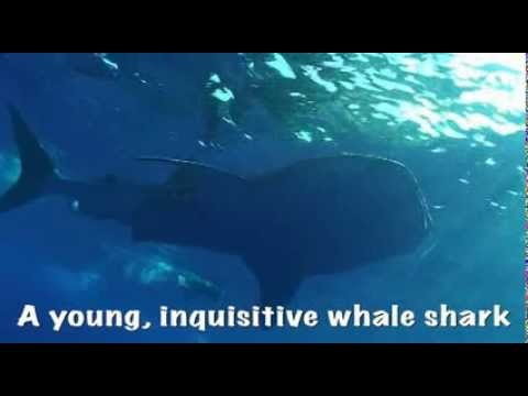 Whale Shark In Hawaii Gets Up Close And Personal With Tourists (VIDEO)