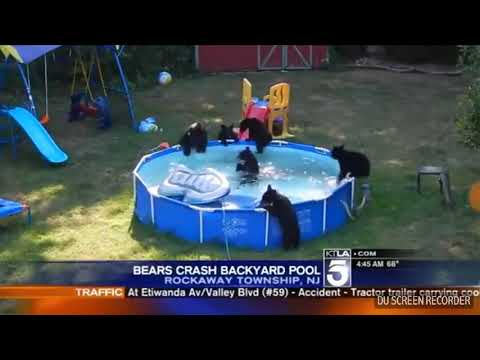 Bears Invade Swimming Pool in New Jersey