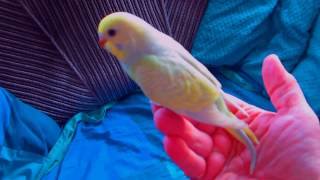 Птенцы Радужные волнистые попугаи Rainbows