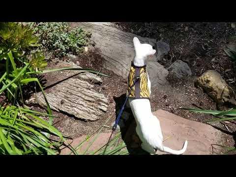 Oriental Shorthair learning to walk on leash!