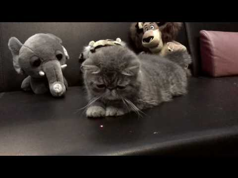 Cute Exotic Shorthair Gal  Available