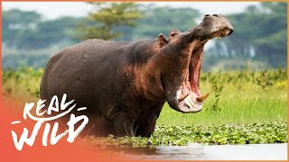 Austin Stevens Adventures - Hippo Face Off [Documentary Series] | Wild Things