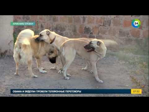 Армянский волкодав - Гампр