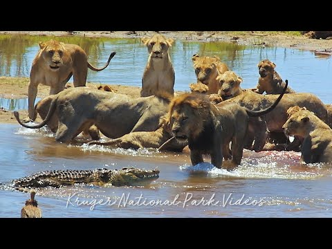 Male Lion Vs Crocodile after Incredible Hunt in Kruger Park | Wildlife Sightings Today.