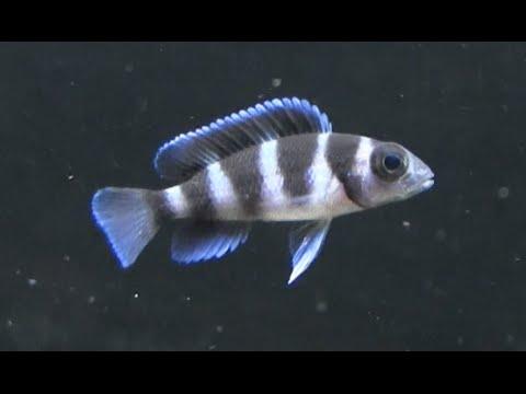 a triocephalusok