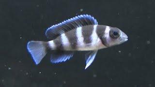 triocephalus is