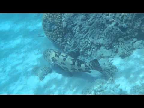 Giant grouper Makadi Bay 2011.MP4 thumbnail