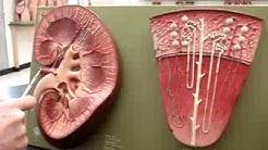 hqdefault - Cortical Radiate Veins Kidney