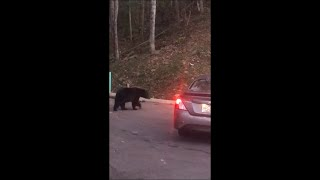 Black Bears Get On The Road To Search For Food
