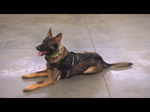 Incredible Young German Shepherd 'Zach' 9 Mo's Obedience Protection Demo
