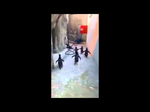 Penguins try to escape Odense Zoo