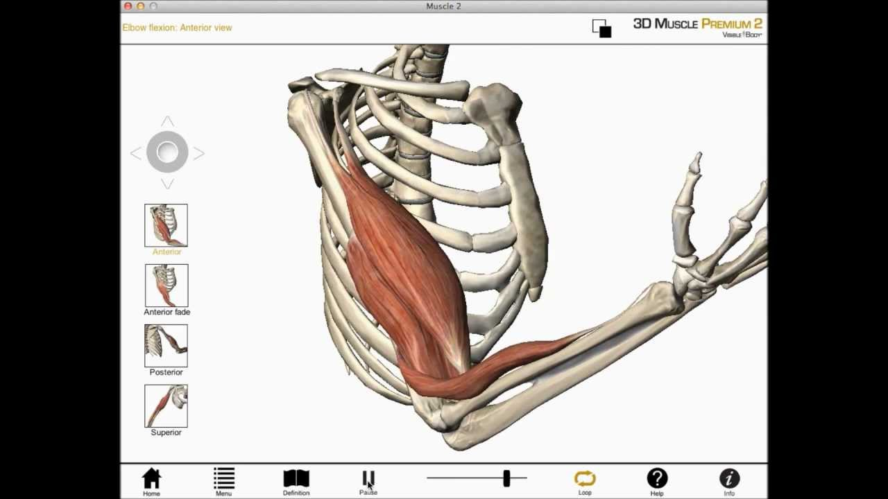Elbow flexion, shoulder flexion, and forearm supination (Biceps ...