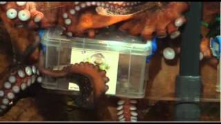 Jet Pack Buzz Lightyear vs Barbie Video Girl: Ollie the Kelkoo Octopus predicts the winner