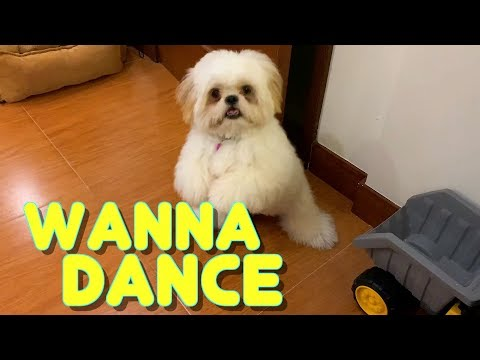 Cute Shih Tzu Puppy Knows How To Stand And Dance to the Music