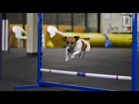 Jack Russell Agility training